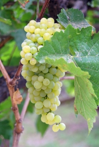 Exclusive and expensive grapes.....